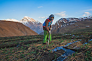 A woman works in the green pea fields at Demul village, Spiti, Himachal Pradesh, India