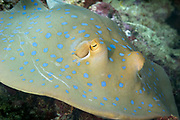 Bluespotted ribbontail stingray (Taeniura lymma) on coral reef. - Agincourt reef, Great Barrier Reef, Queensland, Australia.