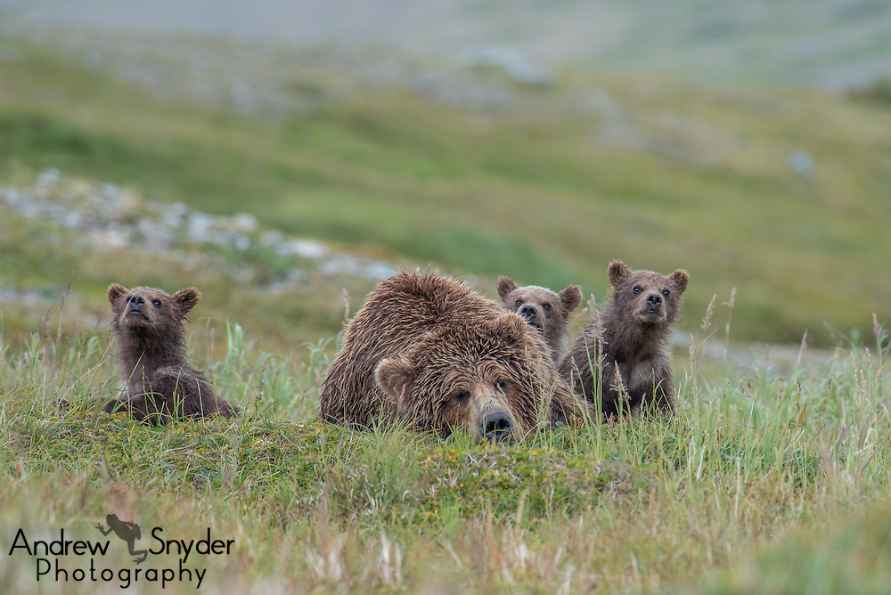 A mother brown bear (Ursus arctos) enjoying a short nap in between rounds of playing with her three cubs - Katmai, Alaska