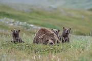 A mother brown bear (Ursus arctos) enjoying a short nap in between rounds of playing with her three cubs - Katmai, Alaska