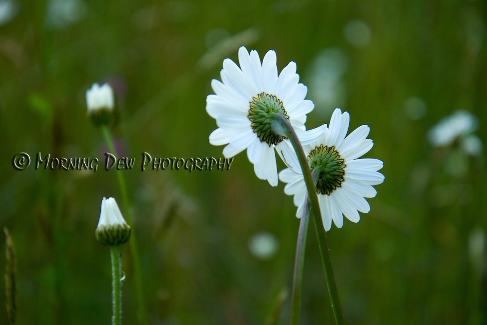 A pair of daisies lean on each other for support in Bovee's Meadow, Olympic National Park.