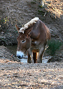 Draft Mule coming up out of his creek after a morning drink.