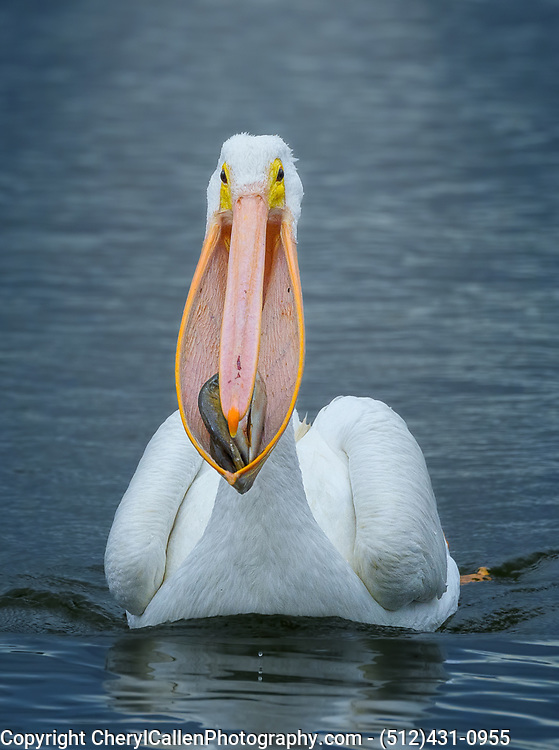 American White Pelican with a mouthful of fish, showing off