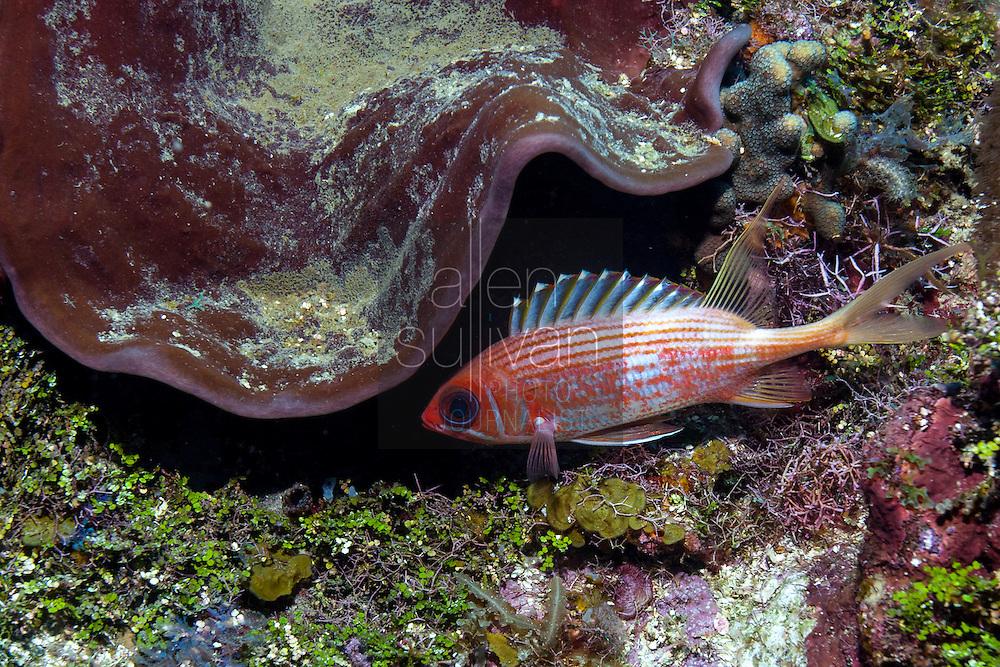 Longspine squirrelfish (Holocentrus rufus) on reef; West End, Roatan, Honduras.