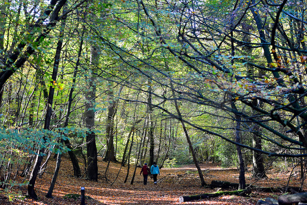 © Licensed to London News Pictures. 04/11/2013. Burnham, UK A couple walk under the towering branches. Autumn sunshine through the trees at Burnham Beeches, South Buckinghamshire on MONDAY 4TH NOVEMBER. The beeches covering 220 hectares is primarily noted for its ancient beech and oak pollards. Photo credit : Stephen Simpson/LNP