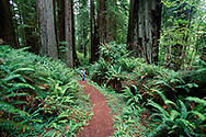 Hiker, Cathedral Trees Trail, redwood forest with ferns, Prairie Creek Redwoods State Park, CA, © 1999 David A. Ponton