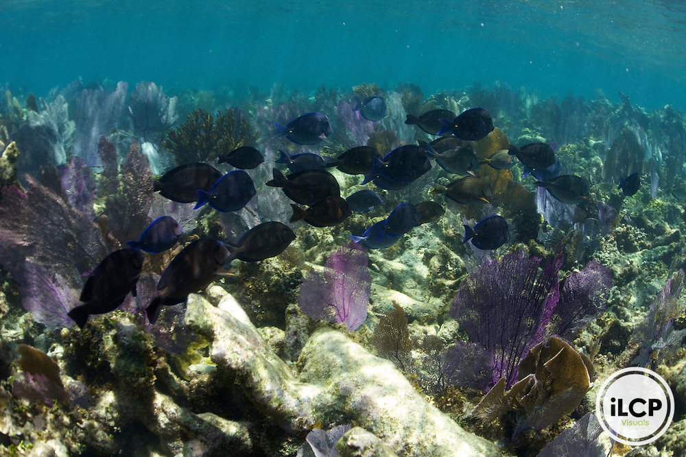 A school of surgeonfish swim through a field of sea fans.