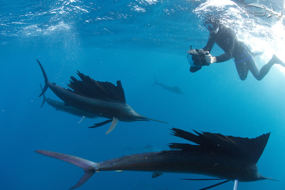 An underwater photographer with Atlantic sailfish (Istiophorus albicans), which are hunting sardine baitballs in Isla Mujeres, Mexico.