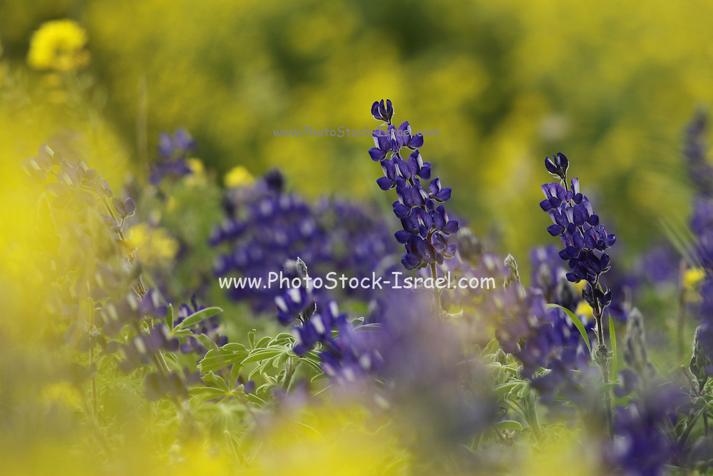 Blue lupin (Lupinus pilosus) Photographed in Israel in March