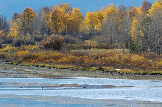Waterfowl at Oxbow Bend. Grand Teton National Park. Wyoming.