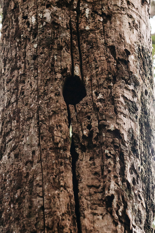 An old cavity in a pine tree, possibly made by ivory-billed woodpeckers was determined to be decades old, leaving less hope the bird still existed in the pine forrest in Eastern Cuba on Feb. 4, 2016.