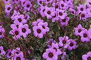 Linum pubescens, the hairy pink flax, is an herbaceous flowering plant in the genus Linum native to the east Mediterranean region. The plant is annual and blooms in the spring. Photographed at the Lotz Cisterns in The Negev Desert Israel in March