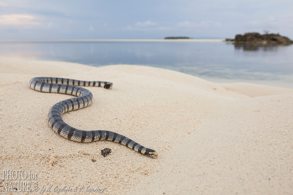 Indonésie, Province des Moluques, Seram Occidental, île de Grogos, tricot rayé (Laticauda colubrina) sur la plage // Indonesia, Maluku, East Seram, Grogos Island, Banded sea krait or yellow-lipped sea krait (Laticauda colubrina) on the beach