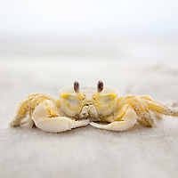 LITTLE ST. SIMONS ISLAND, FL -- October 2, 2010 -- A crab rests on the beach on Little St. Simons Island on Saturday, October 2, 2010.   The 10,000 acres of marshland, beaches, and forests are a refuge for wildlife and vacationers alike with only 32 guests permitted a night.  (Chip Litherland for Bay Magazine)