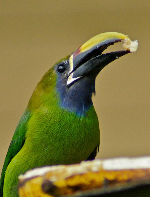 Emerald Toucanet, Costa Rica Cloud Forest, Monteverde
