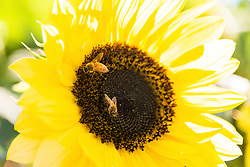 Bees Gathering Pollen on a Sunflower