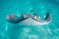 Sting ray (Himantura fai) Moorea, French Polynesia - Raie pastenague (Himantura fai), Moorea Polynésie française.