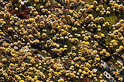 Rock with Barnacles and Lichens, Lower Negro Island, Castine, Maine, US