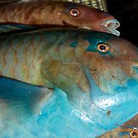 Oman, Muscat, Mutrah. January/31/2008...Parrot fish from Muscat's Mutrah Fish Market.