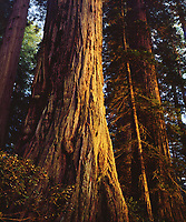 As the sunset was shinning through, I took this photo of an old growth redwood tree in Redwood National Park.