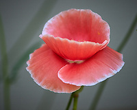 Pink Poppy. Image taken with a Nikon Df camera and 300 mm f/4 lens