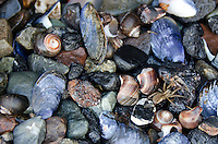 Closeup view of beachstones, blue mussel shells, and periwinkle shells, with a small spider crawling across.