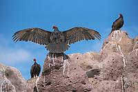 Turkey Vultures on Los Islotes in Baja California Sur, Mexico.