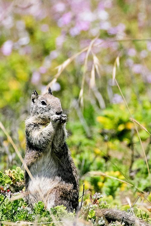 USA, Montaña de Oro State Park (CA).California ground squirrel (Spermophilus beecheyi)