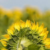 Rear view of sunflower in a field