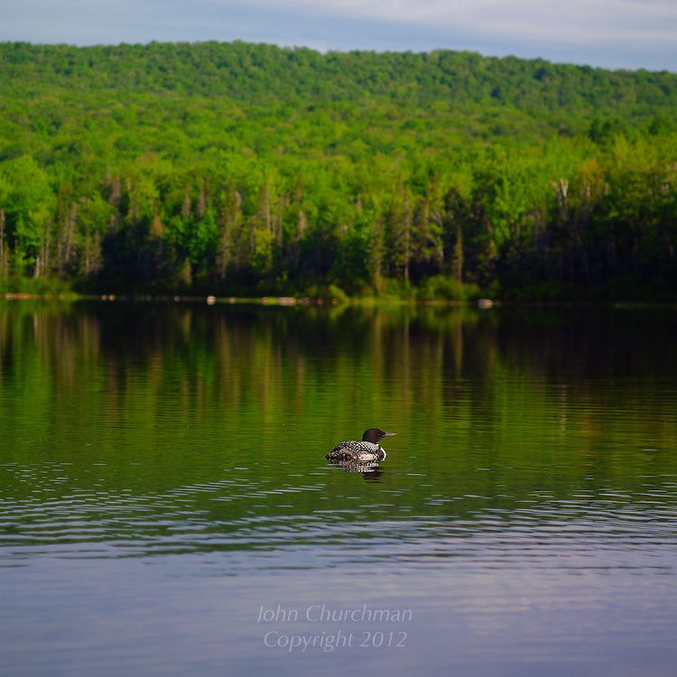 Loon on Seyon Pond, Groton, Vt