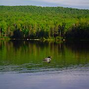 Loon on Seyon Pond, Groton, Vt