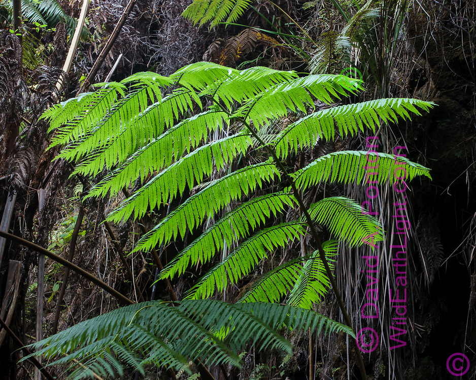 Hawaiian tree fern (Cibotium splendens) also called the hapu'u, in an old volcanic crater, in the rainforest of Hawaii Volcanoes National Park, © 2010 David A. Ponton