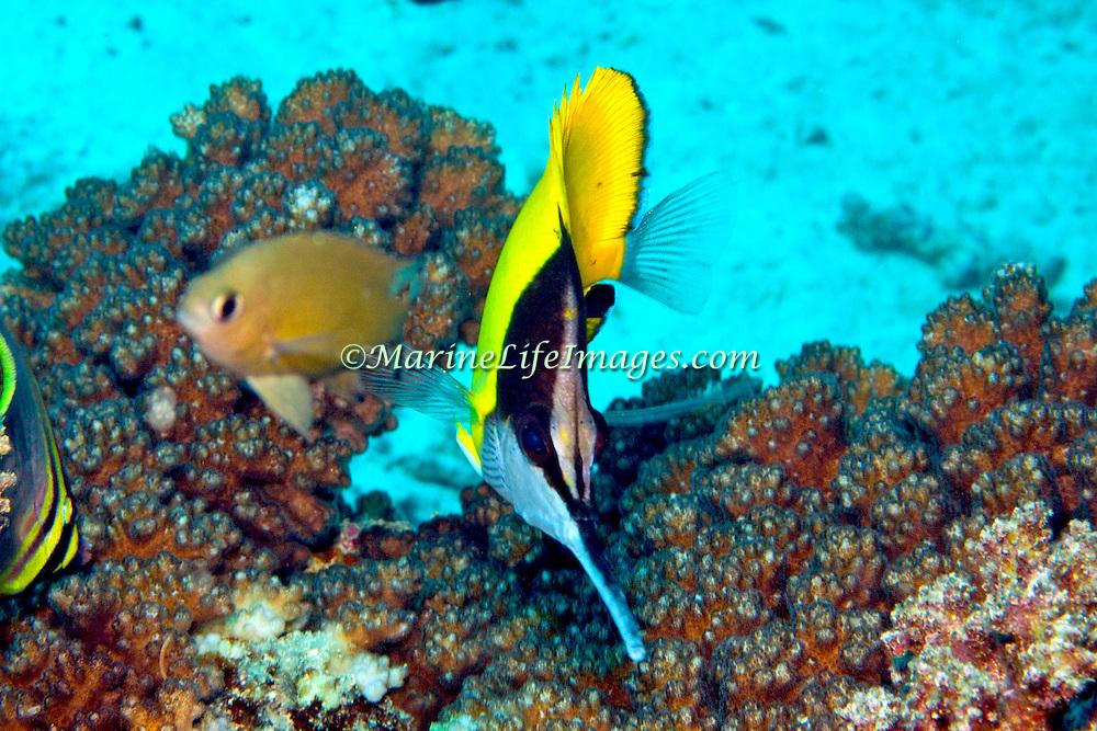 Big Longnose Butterflyfish inhabit reefs. Picture taken Fiji.