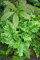 Polypodium cambricum 'Prestonii' between paving slabs and a rodgersia