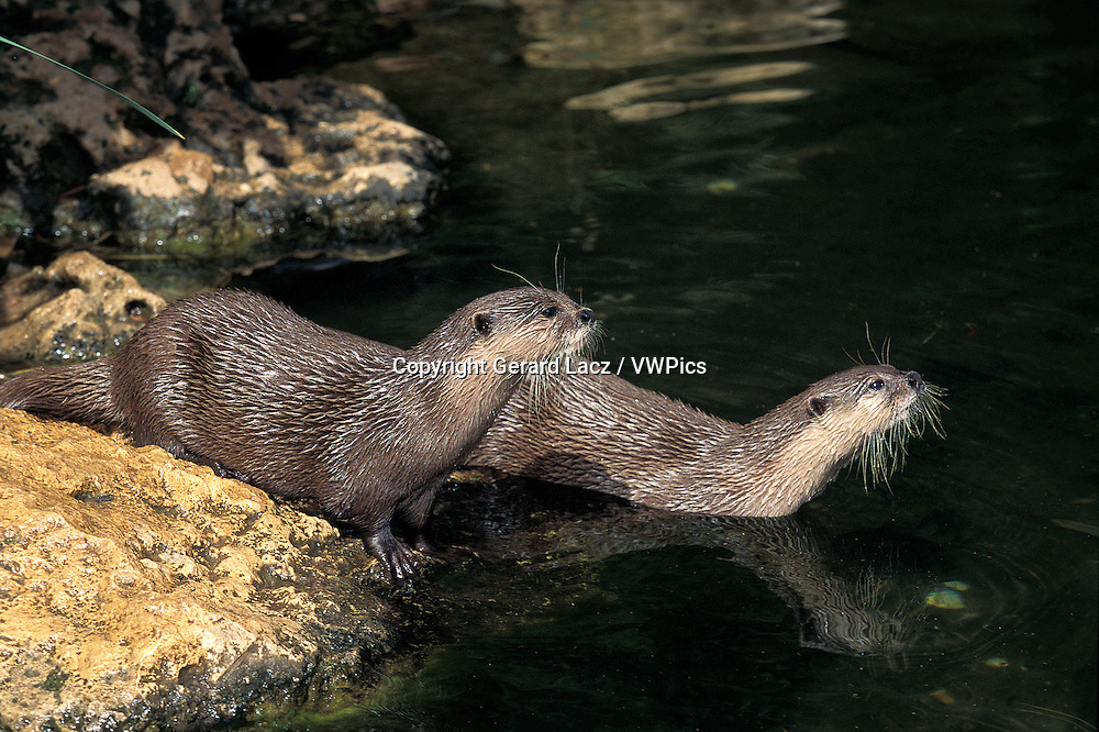 Short Clawed Otter, aonyx cinerea, Adults entering Water