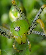 Green Lynx Spider (Peucetia viridans)<br />