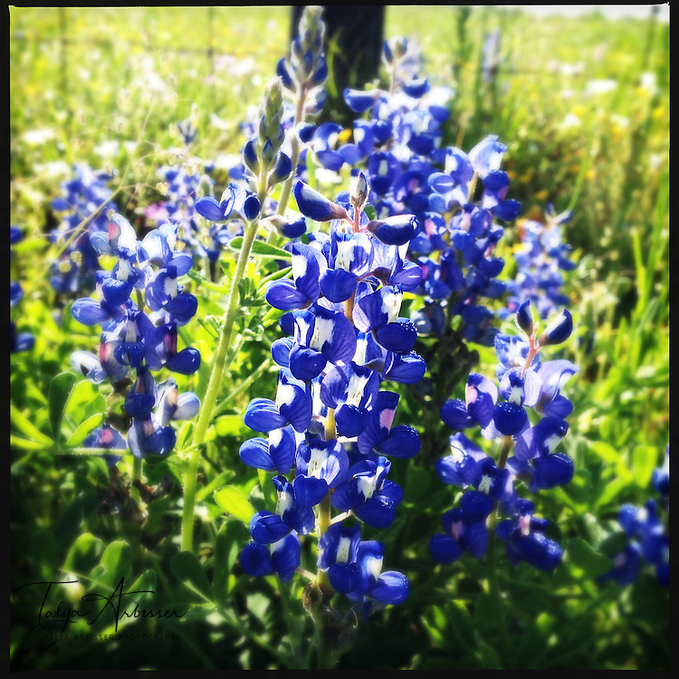 Bluebonnets - Waller, Texas