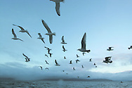 Seagulls swoop expectantly at first-light by the My Amber as it fishes for prawns off Scotland's west coast in a marine 'box' in the inner sound of Rona which restricts entry to large trawlers looking for white fish and allows around 16 creelers unrestricted fishing...