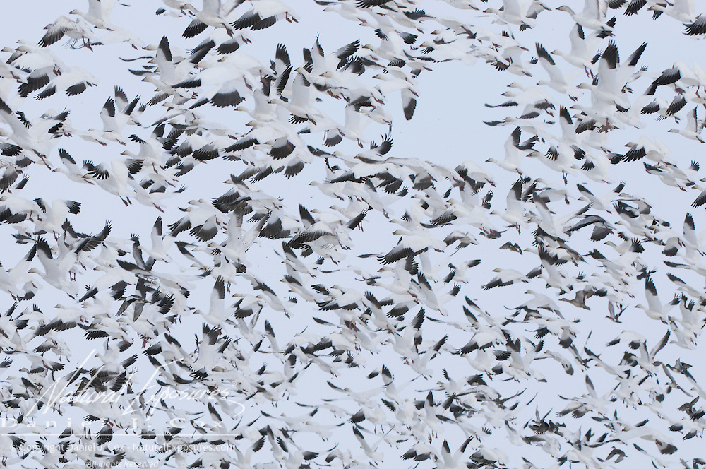 Snow Goose (Chen caerulescens) flock in flight near Freezeout Lake, Montana.