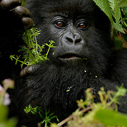 Mountain Gorilla (Gorilla beringei beringei) <br /> Virunga Volcanoes - Parc National des Volcans, Rwanda <br /> <br /> A young female named Ikaze from Beetsme&rsquo;s group grabs handfuls of Galium. Galium is one of the foods most commonly eaten by mountain gorillas in Parc National des Volcans, Rwanda.