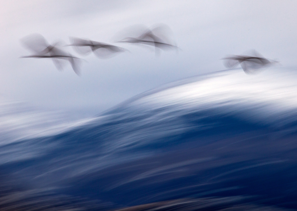 A slow shutter speed blurs the motion of sandhill cranes flying over the snowcapped La Garita Mountains.