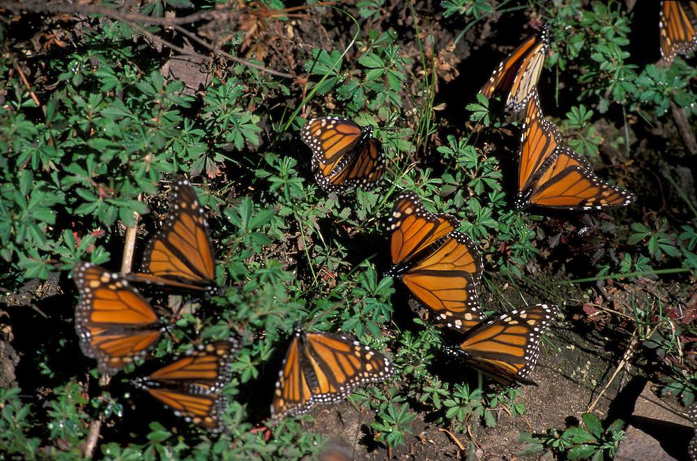 Reserva de la Biosfera Mariposa Monarca el Rosario, Angangueo, Michoacan, Mexico