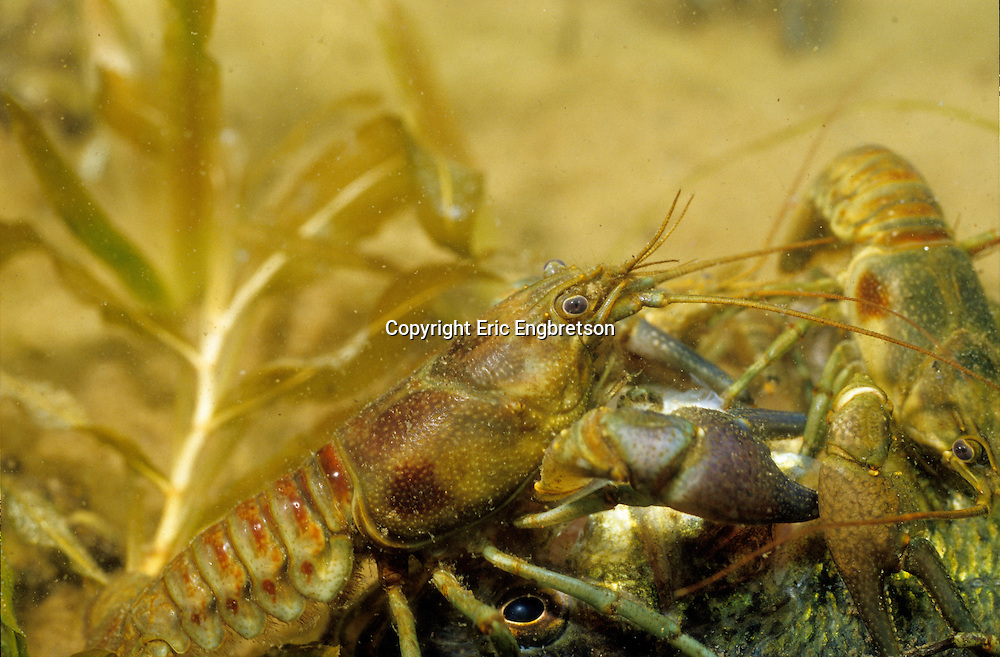 Rusty Crayfish eating dead fish<br /> <br /> ENGBRETSON UNDERWATER PHOTO