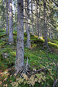 Norwegian forest and different trees.