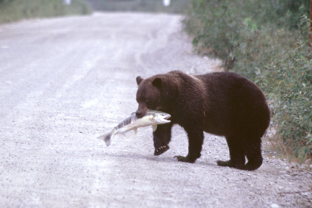 Grizzly with chum salmon