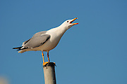 Israel, Coastal Plains, Herring Gull, Larus argentatus, on a pole March 2003