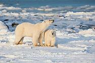 01874-12212 Polar Bear (Ursus maritimus) mother and cub  near Hudson Bay  in Churchill Wildlife Management Area, Churchill, MB Canada