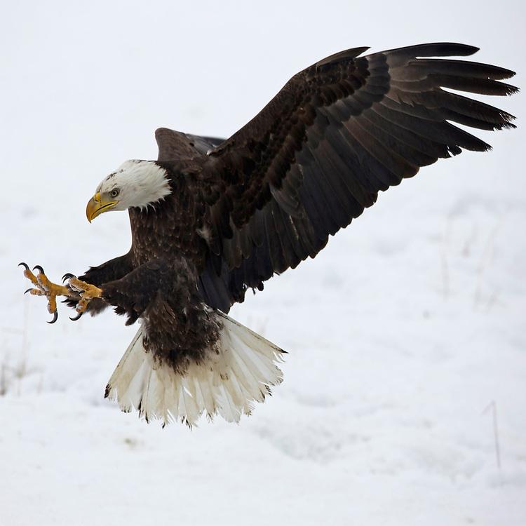 Bald Eagle striking a pose. Utah