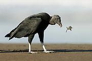 Black vulture (Coragyps atratus) feeding on olive ridley sea turtle hatchling (Lepidochelys olivacea) Playa Ostional, Costa Rica, Pacific coast. | Die weitaus meisten Oliv-Bastardschildkröten (Lepidochelys olivacea) schlüpfen bei Nacht. Ein Großteil derer, die bei Tageslicht noch auf dem Sand unterwegs sind,fällt den Rabengeiern (Coragyps atratus) zum Opfer. Da der Schlund der Geier für den Panzer ihrer Beute zu eng ist, müssen sie die Schildröten zerreissen. Oft fressen sie dabei nur den Kopf oder einzelne Flossen, bevor sie ein paar Schritte weiter ihr nächstes Opfer aufpicken.