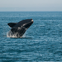 A North Atlantic Right Whale ( Eubalaena glacialis) breaches in the Bay of Fundy, Canada, September, 2011.